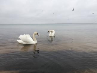 Евпатория лебеди в море2