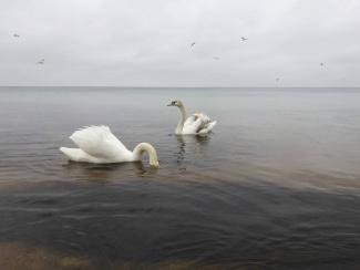 Евпатория лебеди в море3