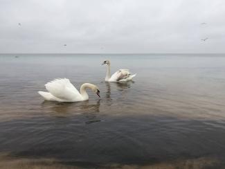 Евпатория лебеди в море4